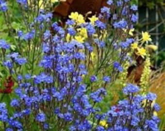 "Anchusa Seeds -  ""Azurea""  - Large Blue Alkanet -- Medicinal Herb"