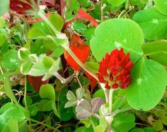 Crimson Clover Seeds  -   Trifolium incarnatum -- Medicinal Herb