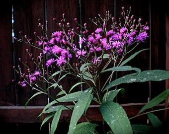 Ironweed Seeds - vernonia altissima -- Medicinal Herb