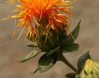 """Safflower SEEDS - """" Zanzibar """" - Carthamus tinctorius L. -- Medicinal Herb"""