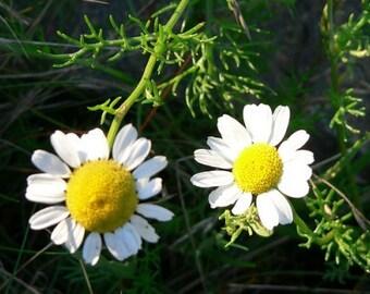 Chamomile Seeds - Matricaria recutita -- Medicinal Herb