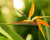 Spring Ptogography, Bird of Paradise Flower Photo Paper of Photo Canvas Fine Art Macro Closeup 8x10 or 8x12, Spring Fresh