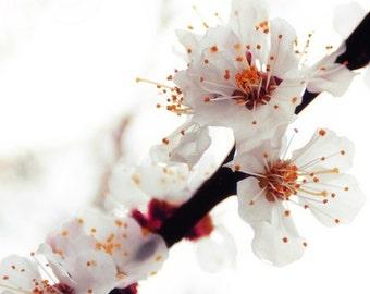 Nostalgic Flower Photography, Fine art print, Apricot Tree Blossom, Woodland Whimsy Print 8x8, oxblood