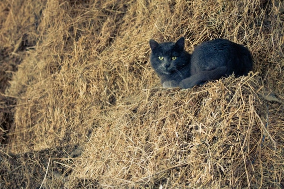 Black Cat Photography, Animal Photograph, Barn Haystack Print, Spooky Halloween, Fine Art Photography Print, Wall Decor Art, Home Decor