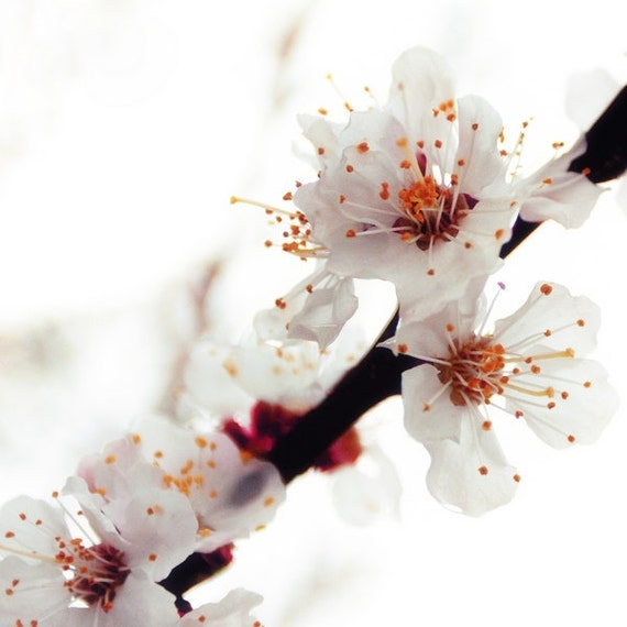 Nostalgic Flower Photography, Fine art print, Apricot Tree Blossom, Woodland Whimsy Print 8x8, oxblood