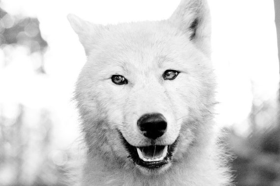 Wildlife Photography, Arctic Wolf Photograph, Polar Wolf, Black and White Photograph 8x10 8x12 10x15 11x14 16x20 16x24 20x24 20x30