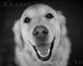 Smiling Golden Retriever, black and white