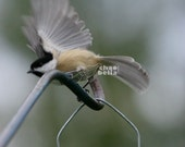 Photography - Birds Black hatched chickadee (PRINT TO ORDER) - 1 Photo per order - 8x10