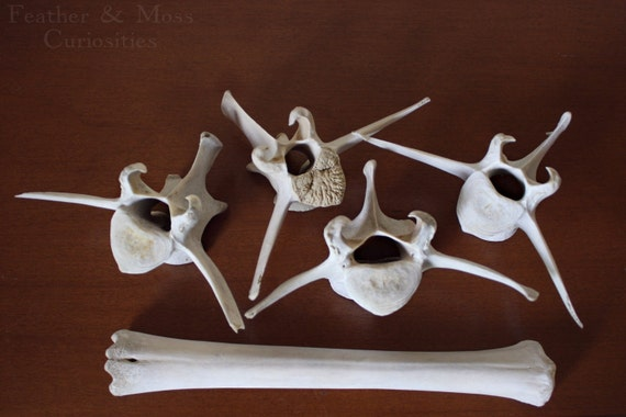 Deer bones.  Four vertebrae and leg bone. Curiosities.