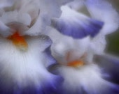 Soft n sensual Dreamy and Romantic Gentle shades of white with translucent blue.  Flowers bring life to any room.  11x14 Color Print