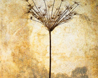 "Wild Caraway silhouette 8""X10"" photograph"