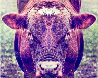 "Lovely Cow 10""X10"" photograph."