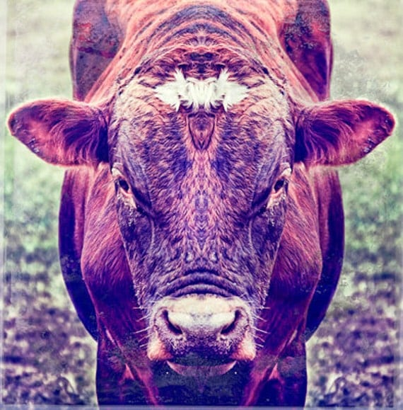 """Lovely Cow 10""""X10"""" photograph."""
