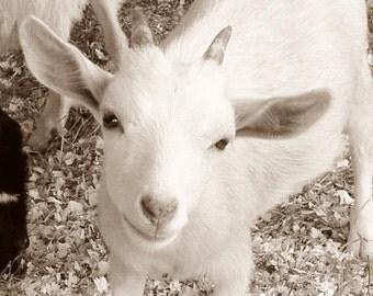 Goat Photo 5x7 Signed Print Cute Kid Baby Goat Wall Art