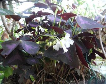 Purple  Oxalis - live plant