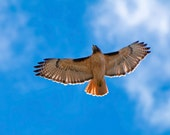 The Red Tailed Hawk