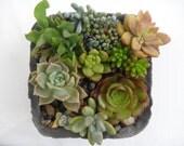 Succulent garden in handmade cement planter