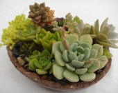 Succulent garden in a beautiful brown tinted cement planter