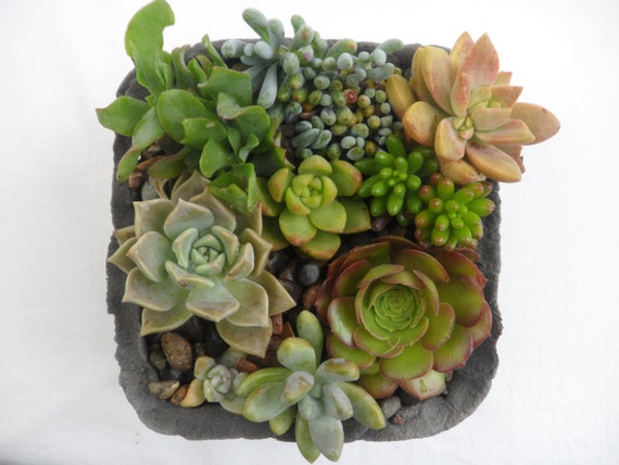 Succulent garden in handmade cement planter