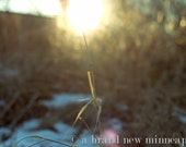 "Winter's Roman Candle, sun in blade of grass, 8x12"" photograph print"