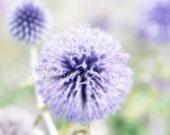 """Purple Flower Dandelion, Nature Photo, 8""""x12"""", Meadow fields, Wildflower fields, Switzerland, Zermatt, Home, Nursery, lilac, gift"""