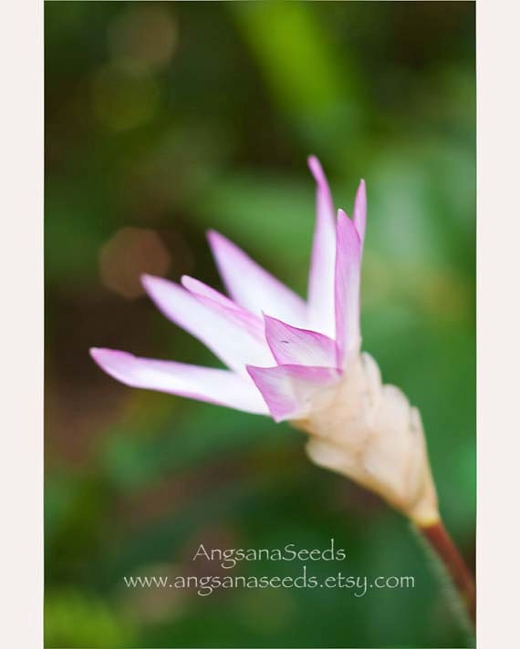 Pink Water Lily, spring, Fine Art flower photography, purple, Floral, Nursery, 8x12, Home decor, Botanical Art, Bokeh, gift under 50