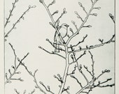Chaffinch in Tree - drypoint print