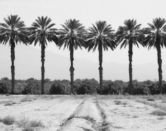 Infrared Photography,  Palm trees, California, Indio