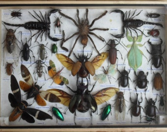 REAL Multiple INSECTS BEETLES Scorpion Spider Collection in wooden box/big size/is07c