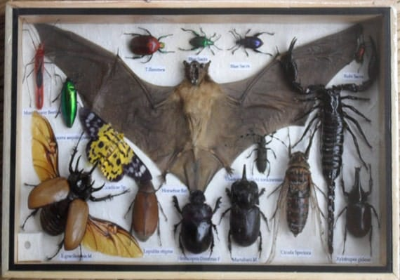 REAL Multiple INSECTS BEETLES Bat Scorpion Collection in wooden box /is08b
