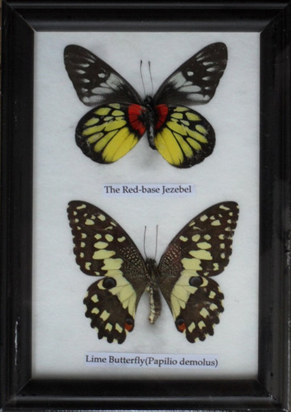 REAL 2 BEAUTIFUL  BUTTERFLY Collection in Frame / B02n