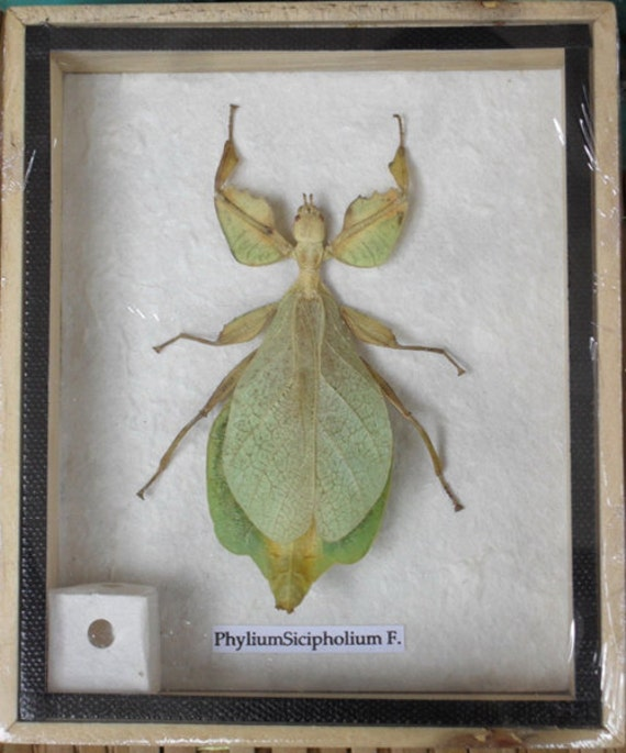 REAL Leaf Insect PhyliumSicipholium in wooden box / isba
