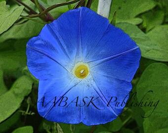 Morning Glory Blue...8 x 10 photography...