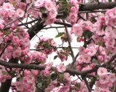 Nature Photography - Hiding Among the Cherry Blossom Trees
