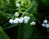 Lily of the Valley still life art photo