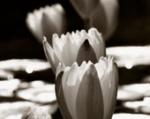 Water Lily's in the Sun - Black and White photography, photography, fine art photography, floral photography - WiMDesigns