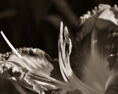 Reaching for the Sun - Day lily photo, flower photo, sepia photo, garden flower, flower, home decor, office decor