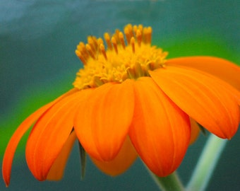 Orange flower macro, flower phoptography, garden flower, nature photography, creative