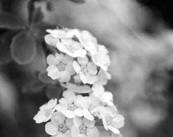 Delicate White Flowers in Black and White, flower phoptography, garden flower, nature photography