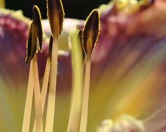 Day Lily Macro, flower phoptography, garden flower, nature photography, day lily, lily, macro