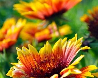 A family of Arizona Suns - flower photography, arizona sun photo, garden, garden flower