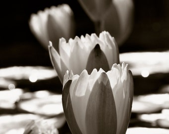 Water Lily's in the Sun - Black and White photography, photography, fine art photography, floral photography