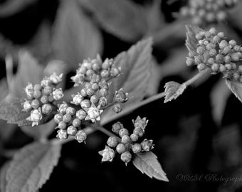SPRING BUDS - Black and white photography, flower photography, home decor, office decor