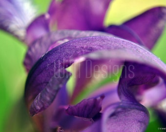 Purple Lily - A Convergence of Petals, Garden flower, lily, nature nature photography