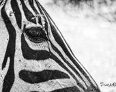 Zebra Eyes 8 x 10 inch Print animal stripes black and white face decor photo