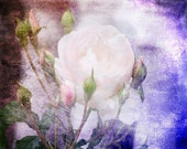 Lovely Rose Fine Art Print 11 x 14 inches dreamy shabby chic whimsy purple pink flower