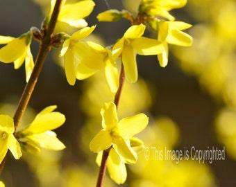 Forsythia Blooms yellow spring blossoms 11 x 14 fine art print shrub flowers symbols