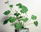 Coconut Scented Pelargonium (Geranium) - Pelargonium Grossularioides 15 seeds
