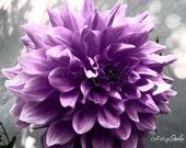 "Giant Purple Dahlia Photography, Purple and Gray Flower Photo, Floral Print- ""Purple Dahlia"" Purple Floral Photo Print"
