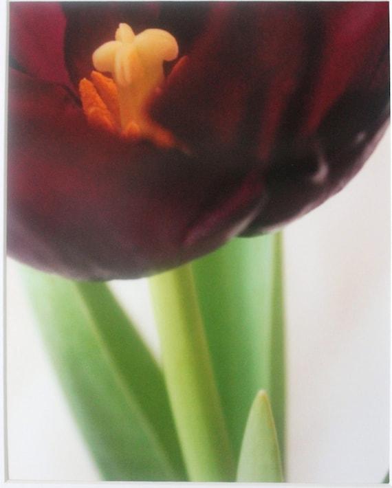 8x10 purple tulip and stem, flower photograph, spring